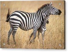 Zebra And Foal Acrylic Print by Johan Elzenga