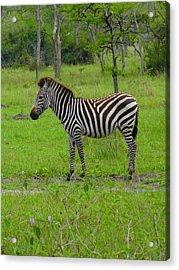 Zebra Art Model Acrylic Print
