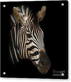Zebra Acrylic Print by Barbara Dudzinska