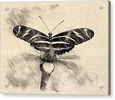 Zebra Butterfly Sketch Acrylic Print