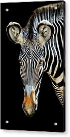 Acrylic Print featuring the photograph Zebra by Dave Mills