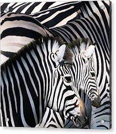 Zebra Family Acrylic Print by Johnnie Boswell