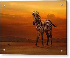 Zebra Fawn  Acrylic Print