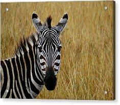 Zebra Half Shot Face On Acrylic Print