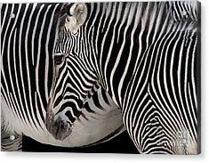 Zebra Head Acrylic Print by Carlos Caetano