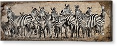 Zebra Herd Rock Texture Blend Wide Acrylic Print by Mike Gaudaur