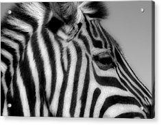 Zebra I Acrylic Print by Christine Hauber