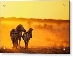 Zebra In The Light Acrylic Print by Ben Mcrae