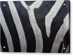 Zebra Acrylic Print by Linda Geiger