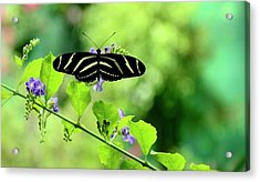 Acrylic Print featuring the photograph Zebra Longwing Butterfly by Corinne Rhode