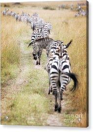 Zebra Migration In  The Masai Mara Acrylic Print