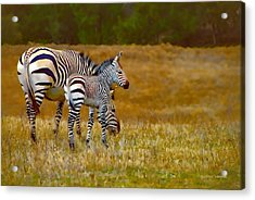 Zebra Mom And Foal Acrylic Print