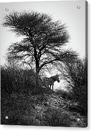 Acrylic Print featuring the photograph Zebra On A Hill  by Ernie Echols
