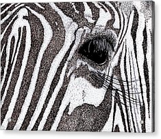 Zebra Portrait Acrylic Print by Karl Addison