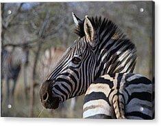 Acrylic Print featuring the photograph Zebra by Riana Van Staden