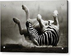 Zebra Rolling Acrylic Print
