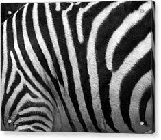 Zebra Stripes Acrylic Print by George Jones
