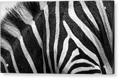 Zebra Stripes Acrylic Print by Racheal  Christian