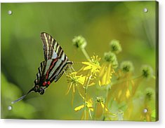 Acrylic Print featuring the photograph Zebra Swallowtail Butterfly by Lori Coleman