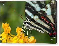 Zebra Swallowtail Drinking On The Fly Acrylic Print
