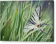 Acrylic Print featuring the photograph Zebra Swallowtail by Eva Lechner