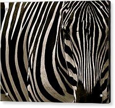 Zebra Up Close Acrylic Print
