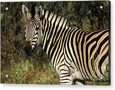Zebra Watching Acrylic Print