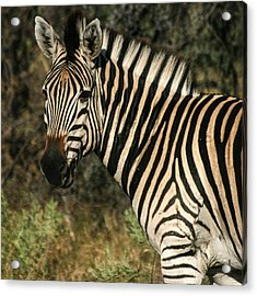 Zebra Watching Sq Acrylic Print