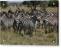 Zebra Zebra Zebra Acrylic Print