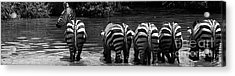 Zebras Cautiously Drinking Acrylic Print by Darcy Michaelchuk