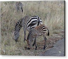 Zebras In Kenya 1 Acrylic Print by Exploramum Exploramum