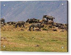 Zebras In The Ngorongoro Crater, Tanzania Acrylic Print by Aidan Moran