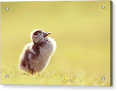 Zen Bird - Gosling Enjoying The Sun Light Acrylic Print