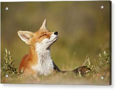 Zen Fox Series - Summer Fox Acrylic Print