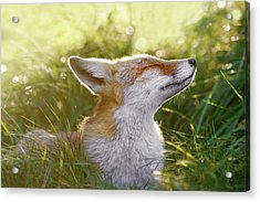 Zen Fox Series - The Sniffer Acrylic Print