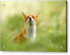 Zen Fox Series - Zen Fox Does It Agian Acrylic Print