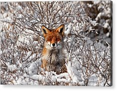 Zen Fox Series - Zen Fox In The Snow Acrylic Print