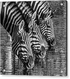 Zerba At The Watering Hole Acrylic Print