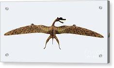 Zhenyuanopterus Back View Acrylic Print