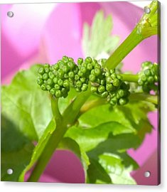 #zinfandel #wine #grapes Baby Buds Acrylic Print