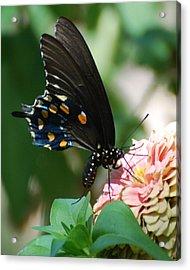 Zinnia Butterfly Acrylic Print