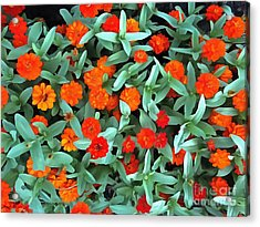 Acrylic Print featuring the photograph Zinnia Flower - Profusion Orange by Janine Riley