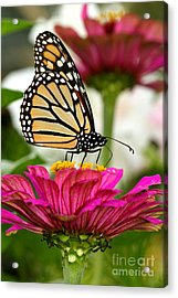 Zinnia Rose And Monarch Acrylic Print by Steve Augustin