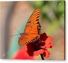 Zinnia With Butterfly 2669 Acrylic Print