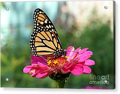 Zinnia With The Monarch Acrylic Print by Steve Augustin