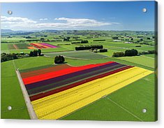 Aerial Of Colorful Tulip Fields Acrylic Print by David Wall