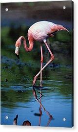 American Flamingo Phoenicopterus Ruber Acrylic Print by Art Wolfe