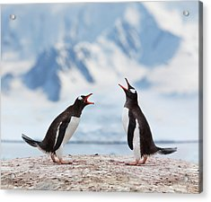 Antarctica Gentoo Penguins Fighting Acrylic Print by Grafissimo