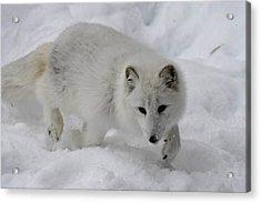 Artic Fox Acrylic Print