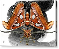 Atlas Moth7 Acrylic Print